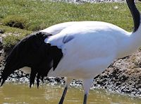 Red Crowned Crane Plumage