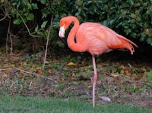 American Flamingo (Slimbridge 37/10/12)