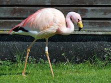 James's Flamingo (Slimbridge 17/05/14)