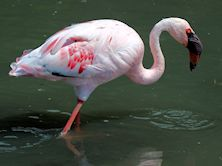 Lesser Flamingo (Slimbridge 26/07/13)