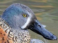 Australian Shoveler (Head, Bill & Eyes) - pic by Nigel Key