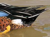 Australian Shoveler (Tail) - pic by Nigel Key
