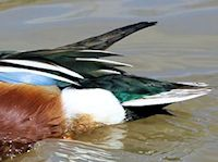 Northern Shoveler (Tail) - pic by Nigel Key