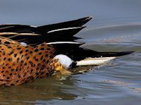 Red Shoveler (Tail) - pic by Nigel Key