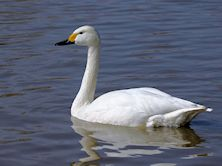 Bewick's Swan (Slimbridge //1)