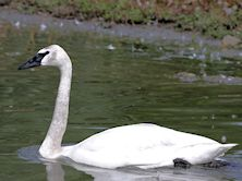 Trumpeter Swan (Slimbridge 22/08/10)