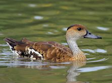 West Indian Whistling Duck (Slimbridge 15/08/11)