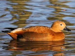 Ruddy Shelduck (WWT Slimbridge November 2013) - pic by Nigel Key