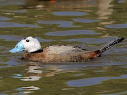 White-Headed Duck (WWT Slimbridge May 2014) - pic by Nigel Key