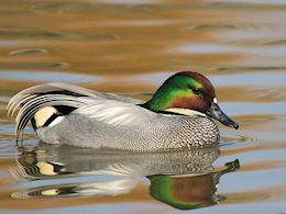 Falcated Duck (WWT Slimbridge April 2015) - pic by Nigel Key