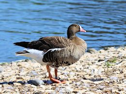 Lesser White-Fronted Goose (WWT Slimbridge June 2015) - pic by Nigel Key