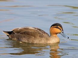 Philippine Duck (WWT Slimbridge April 2015) - pic by Nigel Key