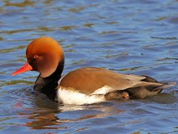 Red-Crested Pochard (WWT Slimbridge March 2014) - pic by Nigel Key