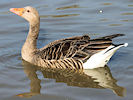 Greylag Goose (Slimbridge 12/10/08)
