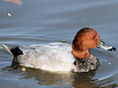 Pochard (Slimbridge 12/10/08)