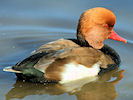Red Crested Pochard (Slimbridge 12/10/08)