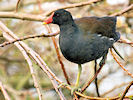 Moorhen (Slimbridge 24/03/09)