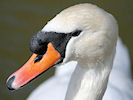 Mute Swan (Slimbridge 24/03/09)