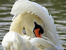 Mute Swan (Slimbridge 22/08/10)
