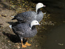 Emperor Goose (Slimbridge 01/10/11)