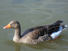 Greylag Goose (Slimbridge 01/10/11)