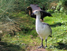 Magellan Goose (Slimbridge 01/10/11)