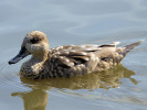 Marbled Teal (Slimbridge 01/10/11)