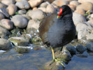 Moorhen (Slimbridge 01/10/11)