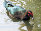 Muscovy Duck (Slimbridge 01/10/11)