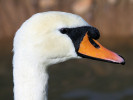 Mute Swan (Slimbridge 01/10/11)