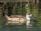 Patagonian Crested Duck (Slimbridge 01/10/11)