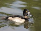 Ring Necked Duck (Slimbridge 01/10/11)