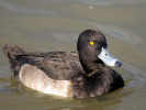 Tufted Duck (Slimbridge 01/10/11)