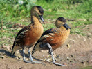 Wandering Whistling Duck (Slimbridge 01/10/11)
