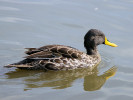 Yellow Billed Duck (Slimbridge 01/10/11)