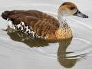 West Indian Whistling Duck (Slimbridge 04/06/11)