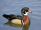American Wood Duck (WWT Slimbridge 09/04/11) ©Nigel Key