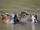 Australian Shoveler (WWT Slimbridge 09/04/11) ©Nigel Key