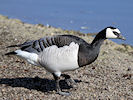Barnacle Goose (WWT Slimbridge 09/04/11) ©Nigel Key