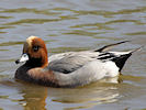 Eurasian Wigeon (WWT Slimbridge 09/04/11) ©Nigel Key