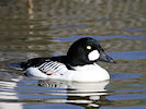 Goldeneye (WWT Slimbridge 09/04/11) ©Nigel Key