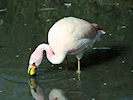James's Flamingo (WWT Slimbridge 09/04/11) ©Nigel Key