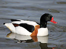 Shelduck (WWT Slimbridge 09/04/11) ©Nigel Key