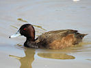 Southern Pochard (WWT Slimbridge 09/04/11) ©Nigel Key