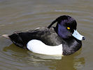 Tufted Duck (WWT Slimbridge 09/04/11) ©Nigel Key