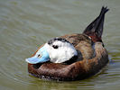 White-Headed Duck (WWT Slimbridge 09/04/11) ©Nigel Key
