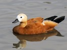 Ruddy Shelduck (Slimbridge September 2012)