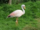 Male James's Flamingo (Slimbridge September 2012)