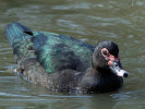 Muscovy Duck (WWT Slimbridge March 2012) - pic by Nigel Key