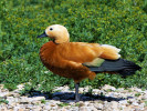 Ruddy Shelduck (Slimbridge May 2012)